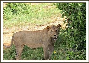 One of the lionesses on Mazinga Hill