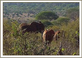 Lolokwe and Nyiro welcome a wild cow