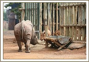 Shida greeting a warthog in his stockade