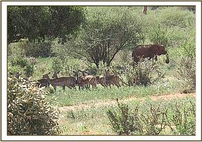 Siria near a herd of wild Impala