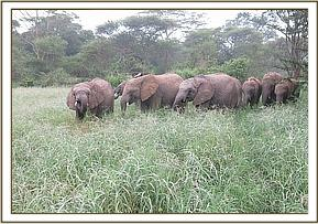 Murera family browsing on the grasslands