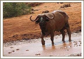 A buffalo at the orphans mudbath