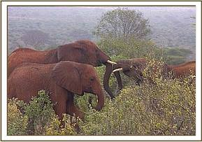Laikipia playing with a wild calf