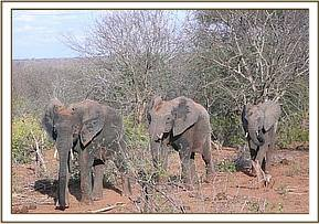 Ndomot followed by a wild elephant & Buchuma