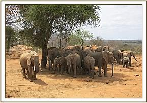 Ex orphans and wild elephants at the stockade