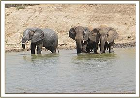 Half trunk and two other wild elephants