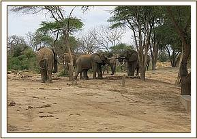 Wild elephants having some water
