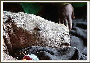 The baby white rhino