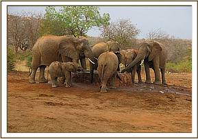 Wild herd with a calf drinking water