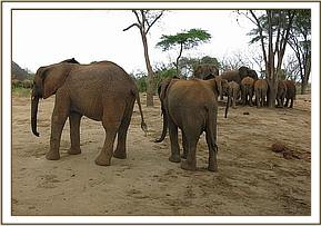 Orphans and two wild elephants at the mudbath