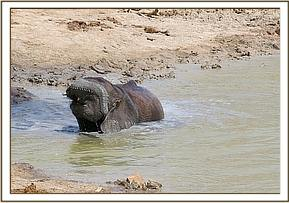 Kanjoro wallowing