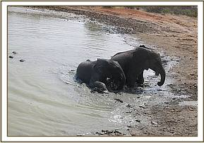 Kanjoro and Ololoo in the mudbath