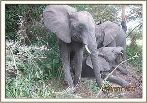 Murera caring for the playing babies in the bush