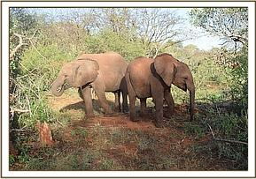 Lemoyian and Wanjala browsing