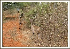 The orphaned Kudus heading to the bush