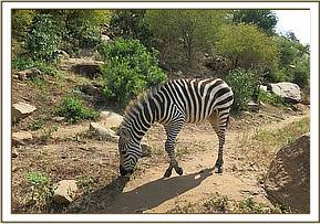 Lualeni the orphaned Zebra grazing
