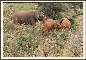 Wasessa and Ndii engaging wild calves
