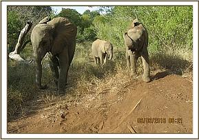 Murera leading the babies