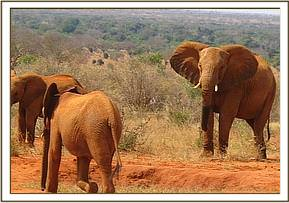 Wild elephants with the orphans