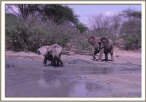 Mulika & a wild elephant at mud bath