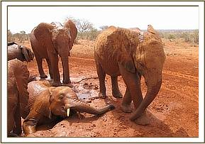 Taveta in the mudbath stretching his trunk