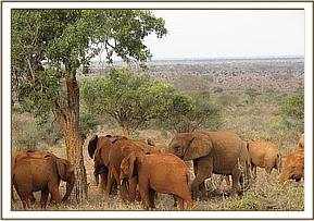 The orphans browsing with a wild herd