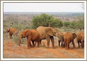 Wild elephants playing with the orphans