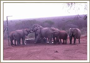 Wild elephants and ex orphans drinking water