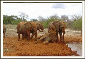 The orphans enjoy a soil bath and the mud wallow