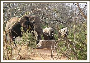 Wild bull with the orphans at the water trough