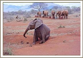 Mweya scratching while the orphans have a drink