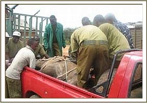 Loading the calf to be taken to the airstrip