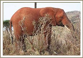 Tsavo browsing