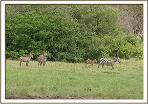 Zebra's at the airstrip
