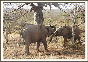 Teleki plays with Lemoyian