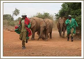 the keepers and the elephants playing