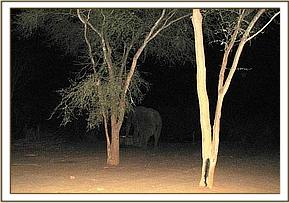 Wild bull visiting the the stockades at night
