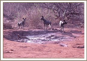 Wild dogs at the stockade