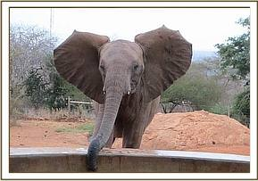 Wild elephant at the water trough