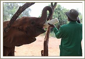 Murera enjoying a bottle of milk