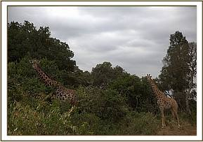 Giraffes near the mudbath