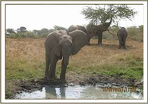 Quanza drinking at the waterhole