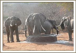 Wild elephants having water at the stockade
