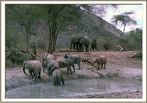 Wild elephants and orphans at the mudbath