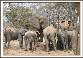 Juniors join wild elephants as they drink water