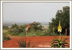 Giraffe near the mudbath