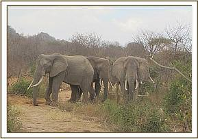 Wild elephants near mudbath