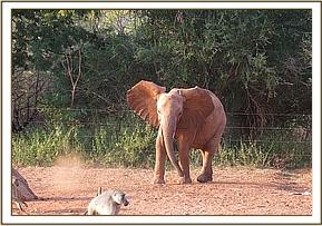 Wasessa chasing a baboon