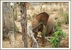 Wanjala scratching his ear