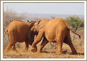 Taveta left and Tassia wrestling